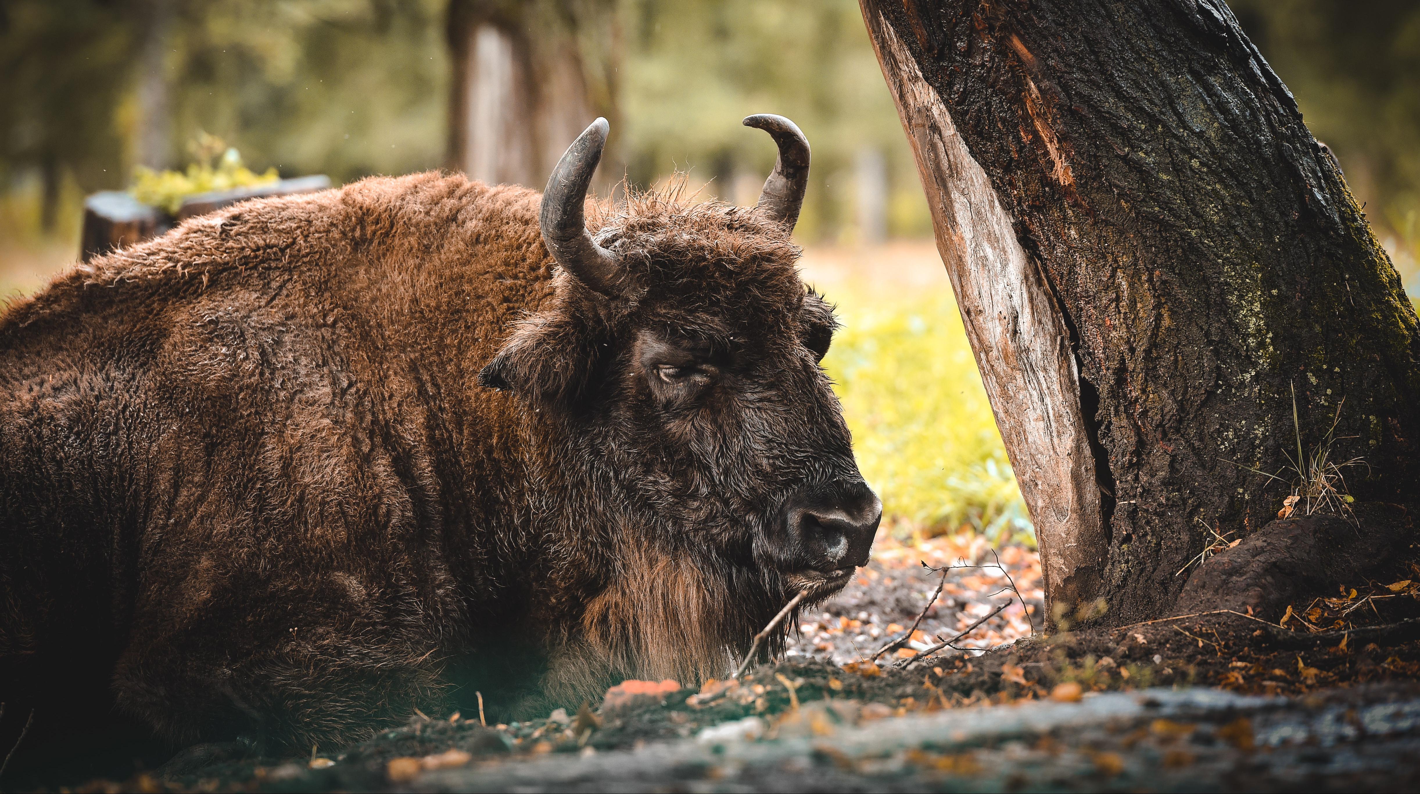 Зубры, кабаны в Приокско-Террасном заповеднике