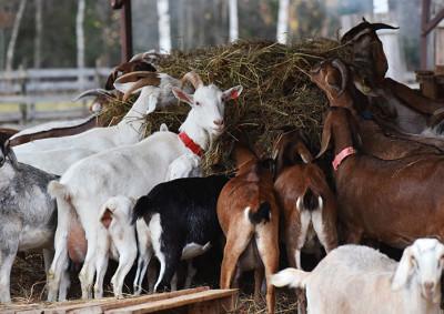 Экоферма «Коза Ностра» в Талдоме