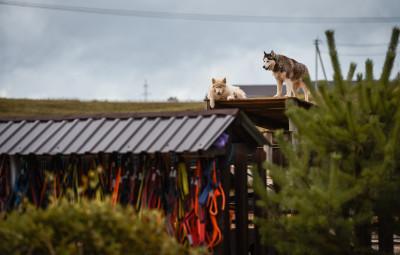 Руза, Хаски-деревня «Рузская Аляска»