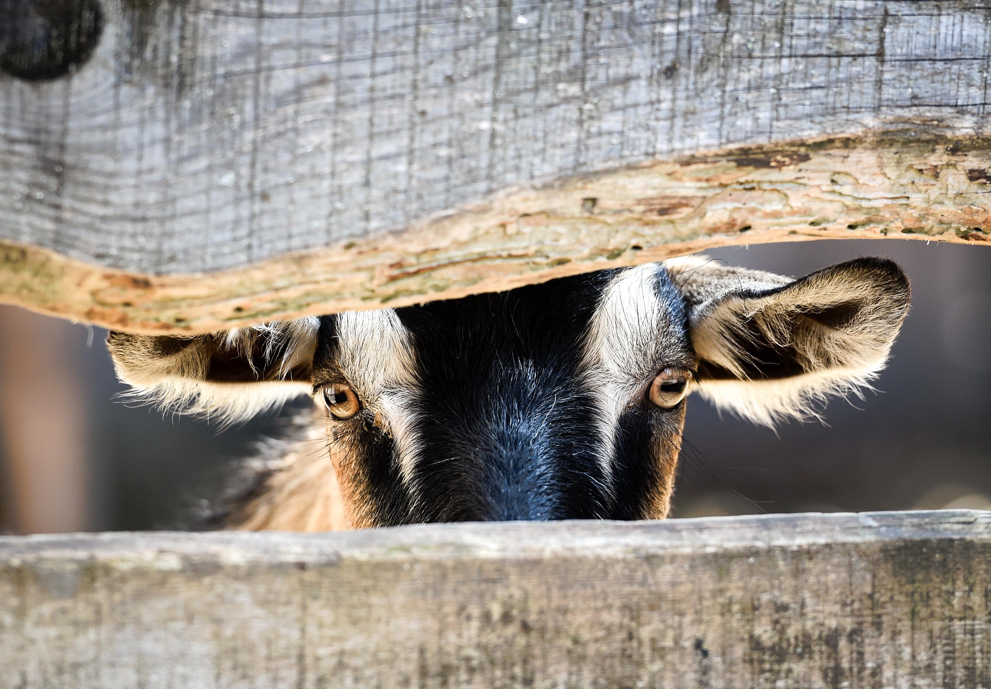 Спа на сеновале и дойка коз: за что иностранцы полюбили подмосковную ферму