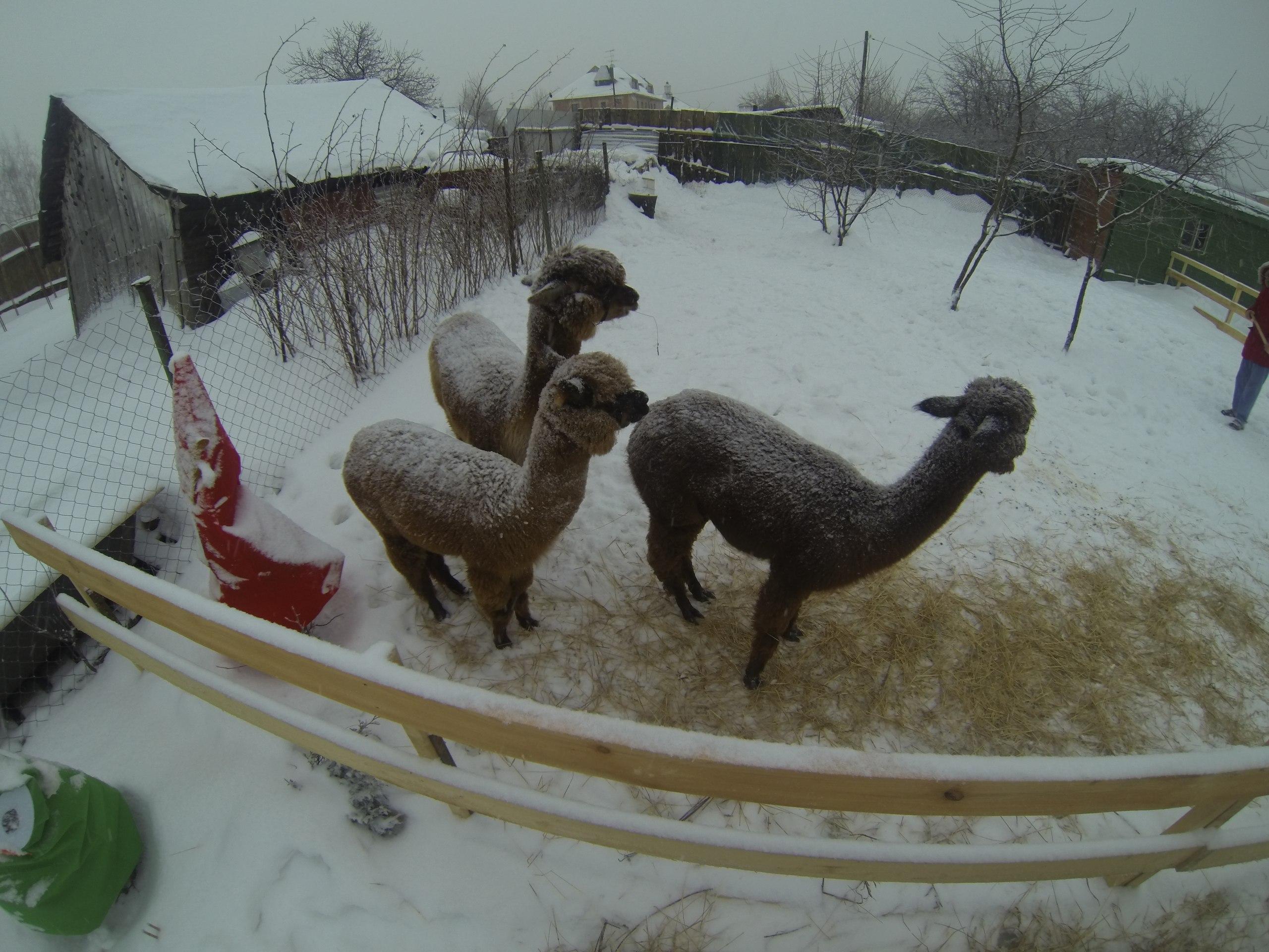 Ферма «Российские альпаки» в деревне Походкино