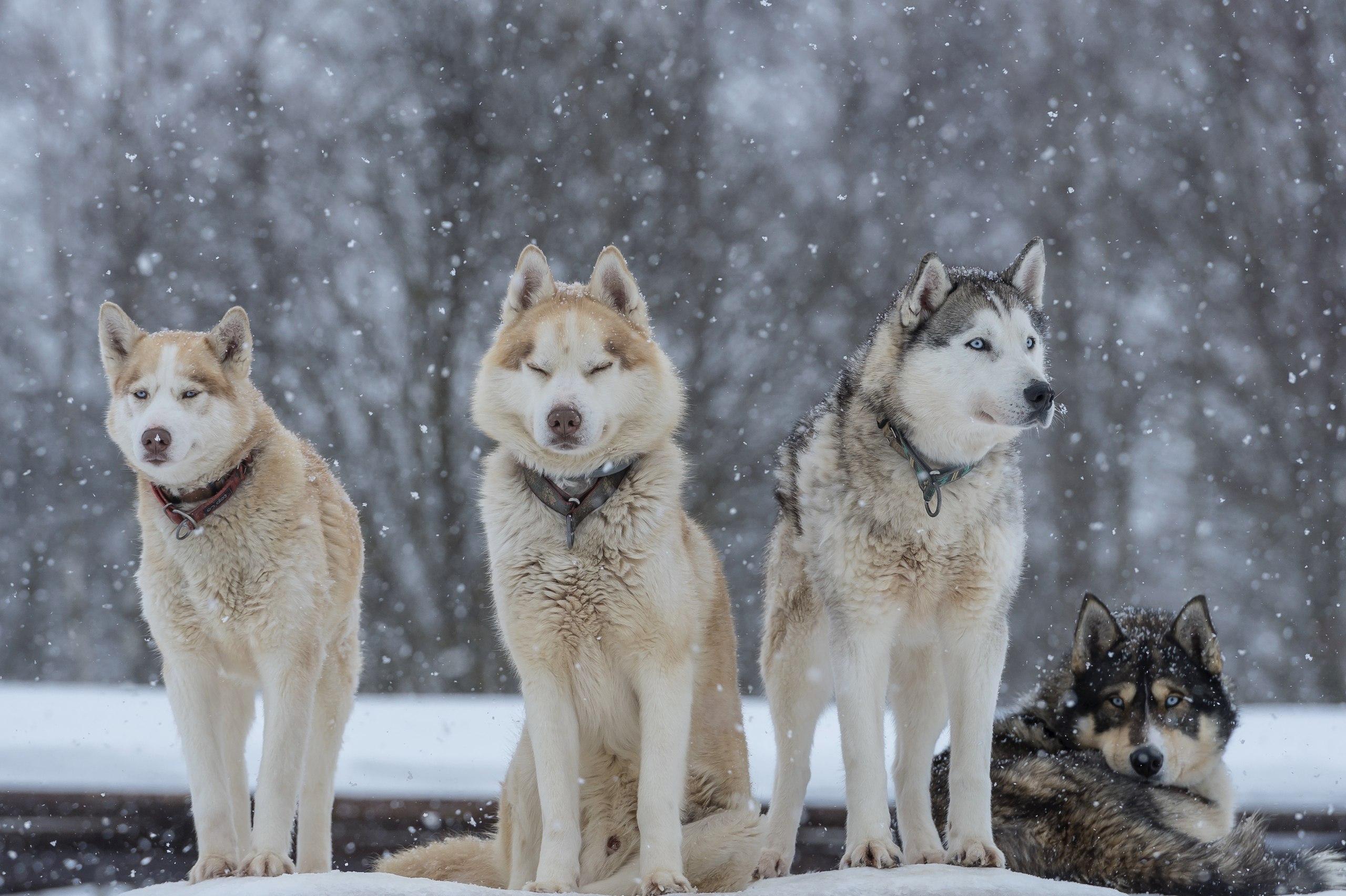 Хаскидеревня «Рузская Аляска»