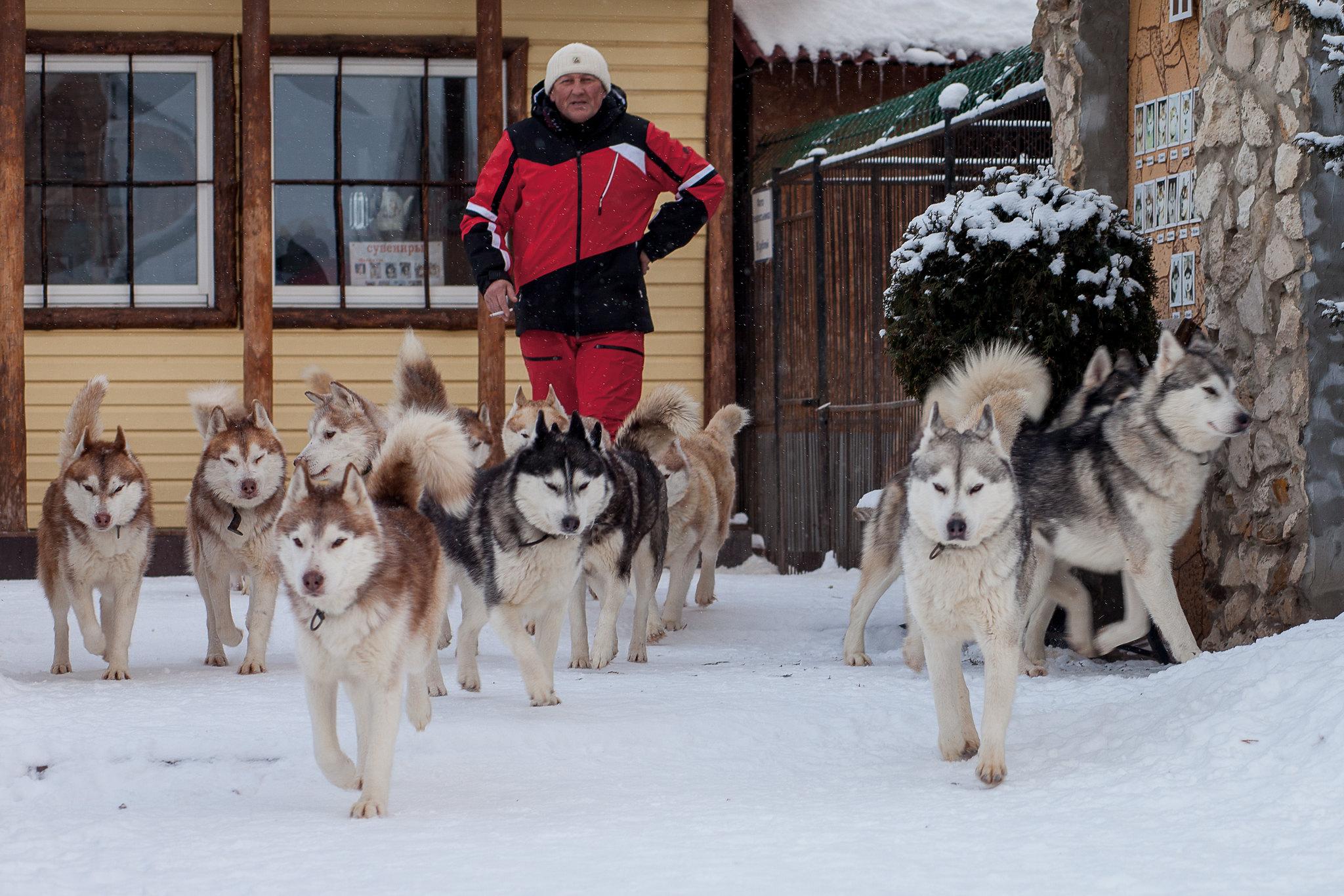 Жизнь в питомнике Husky-Evolution в деревне Прилуки