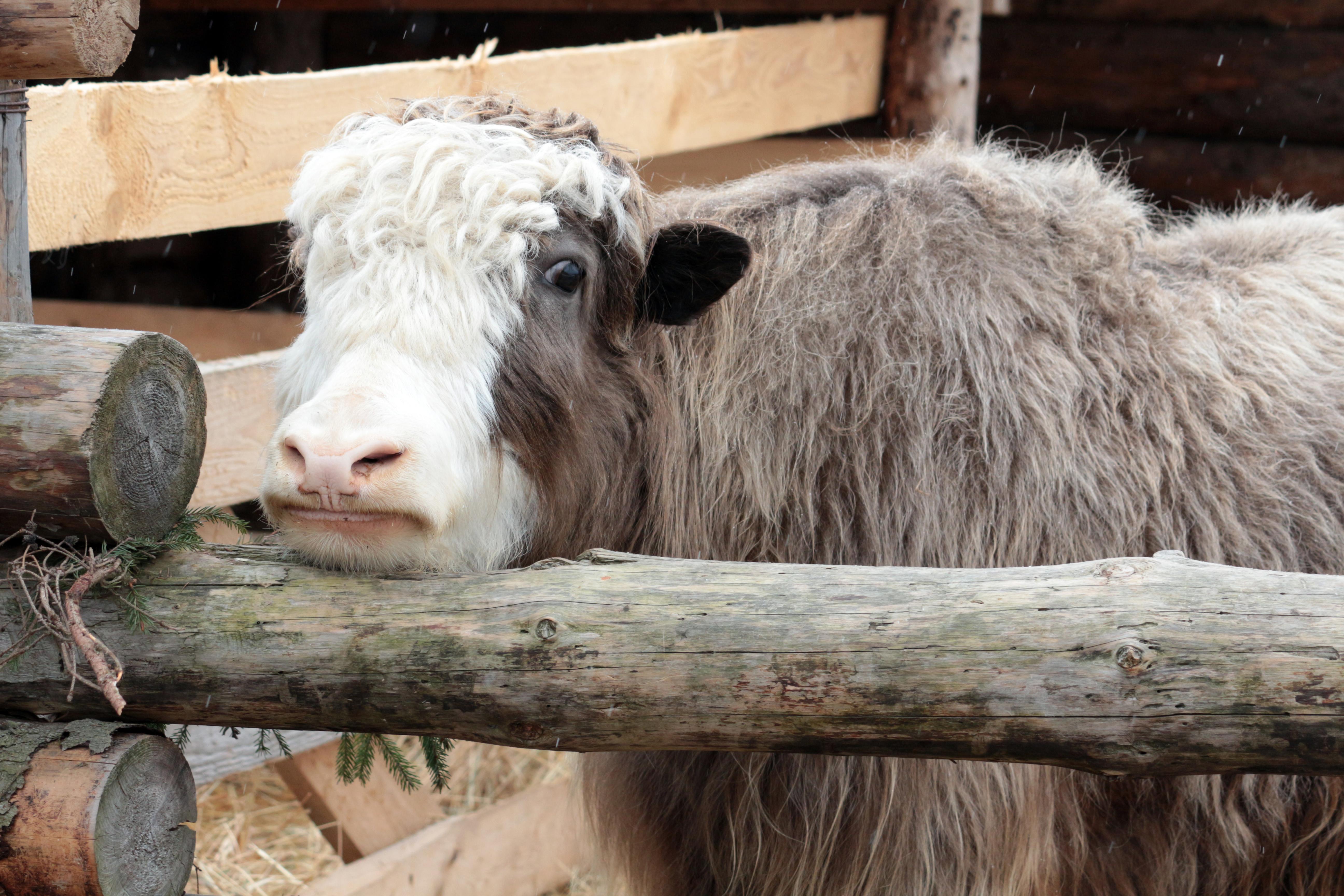 Тибетский бык в этнопарке «Кочевник