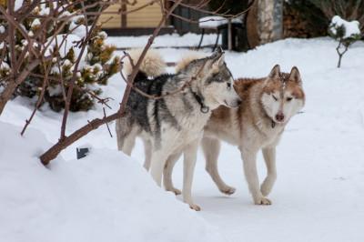 Питомцы Husky-Evolution в деревне Прилуки