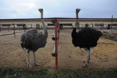 Страусы на страусиной ферме «Русский страус» в городском округе Серпухов