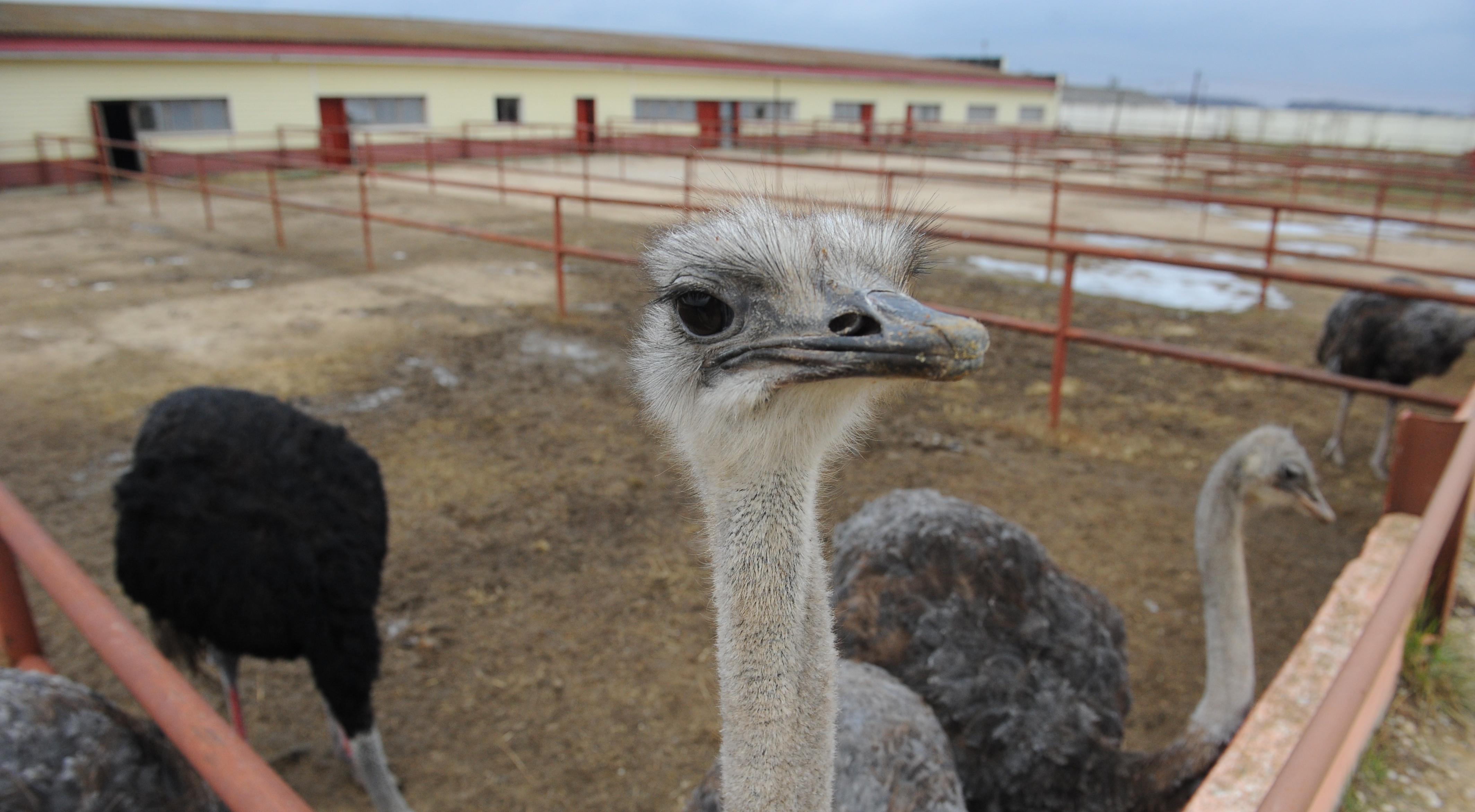 Страусиная ферма «Русский страус»